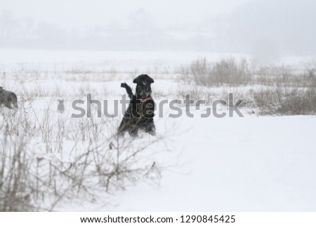 portrait of a giant  schnauzer during a snowfall in the field #1290845425