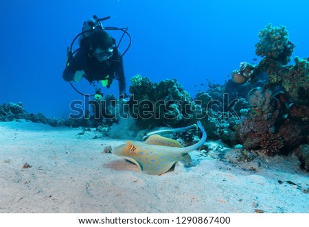 Diver and Bluespotted stingray .