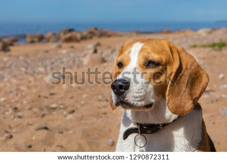 Beagle dog on sea beach #1290872311