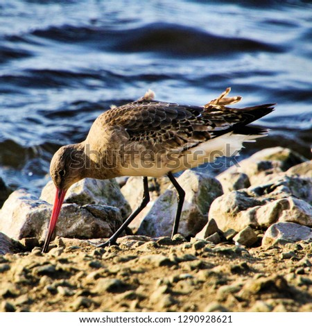 A picture of a Bar Tailed Godwit #1290928621
