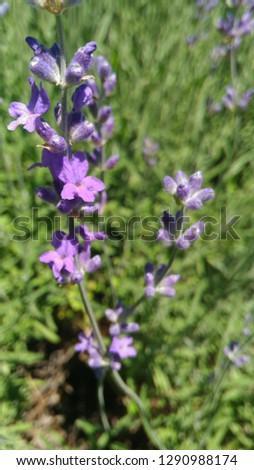 Lavender in the garden #1290988174
