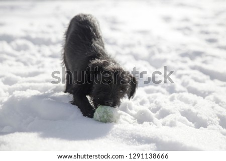 Miniature Schnauzer puppy playing with a tennis ball in the snow #1291138666