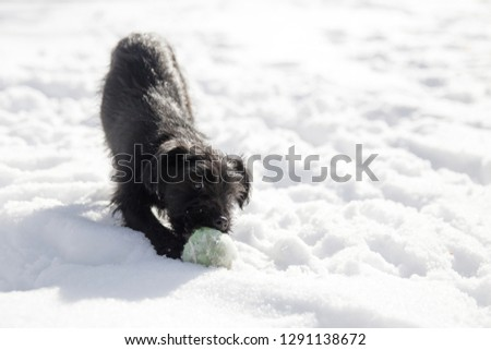 Miniature Schnauzer puppy playing with a tennis ball in the snow #1291138672