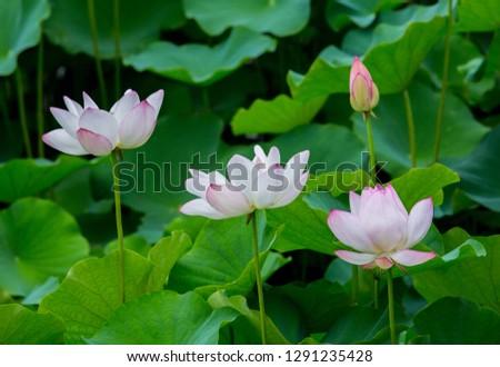 Taiwan's Tainan in June is the season of lotus bloom #1291235428