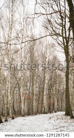 birch forest in winter #1291287145