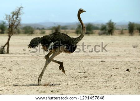Ostrich running in desert #1291457848