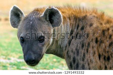 African hyena close-up
