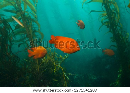 Garibaldi Damsel swimming between giant kelp plants Royalty-Free Stock Photo #1291541209
