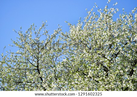 Large branches of cherry blossoms blooming with white flowers against the blue cloudless sky. Background. #1291602325