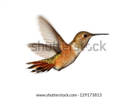 Rufous Hummingbird (Selasphorus rufus) in flight isoloated on a white background #129173813