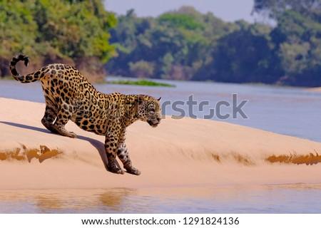 Jaguar, Panthera Onca, Female, Cuiaba River, Porto Jofre, Pantanal Matogrossense, Mato Grosso do Sul, Brazil South America #1291824136