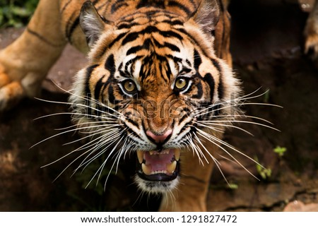 beautiful face of sumatran tiger Royalty-Free Stock Photo #1291827472