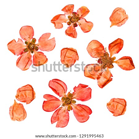 Closeup pressed and dry  large pale red flowers and petal set of quince plant. Blossom of japonica chaenomles, isolated #1291995463
