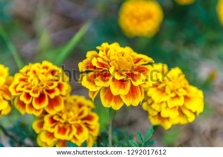 Yellow flowers in the natural outdoor garden. #1292017612