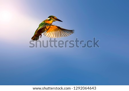 Flying bird. Little colorful bird Kingfisher. Nature background. Isolated images. Bird: Common Kingfisher. Alcedo atthis.