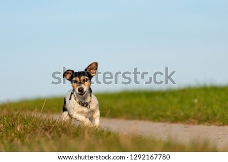 small  dog is running and flies over a green meadow in sommer in front of blue sky - Jack Russell Terrier Hound 9 years old #1292167780