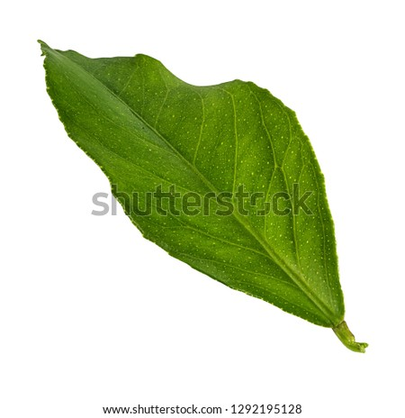 Mulberry leaf isolated on white background #1292195128