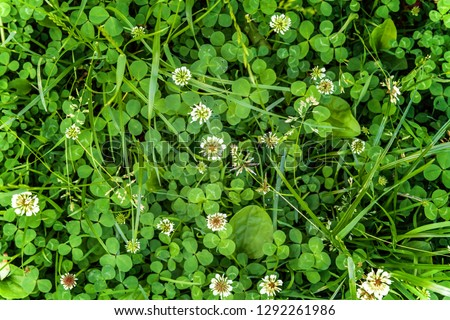 Meadow with white clover flowers. Dutch clover on lawn in spring or summer garden. Lawn carpet with white clover and green grass. Natural floral background. Blooming ecology nature landscape #1292261986