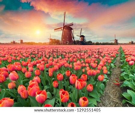 Dramatic spring scene on the tulip farm. Colorful sunset in Netherlands, Europe. Royalty-Free Stock Photo #1292551405