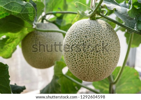 Fresh melons or green melons or cantaloupe melons plants growing in greenhouse supported by string melon nets. #1292604598