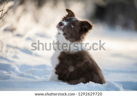 Puppy in the winter. Border collie puppy in the snowy landscape.  #1292629720