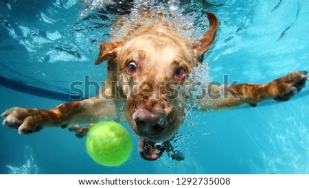 Labrador dog catching ball in water pool #1292735008
