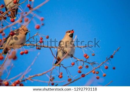 a waxwing eating berries on a tree on the bright blue sky background #1292793118