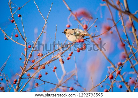 a waxwing eating berries on a tree on the bright blue sky background #1292793595