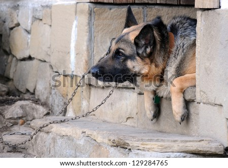 Portrait of the German shepherd on the porch steps #129284765