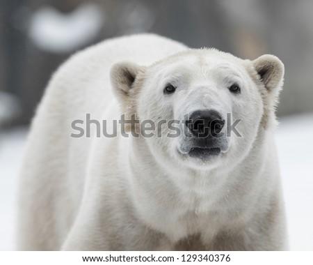 Male polar bear (Ursus maritimus) in the snow