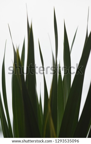 The texture of pandan leaves with a white background #1293535096