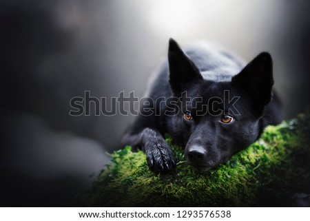 Dog on trunk with moss. Australian Kelpie in nature.  #1293576538