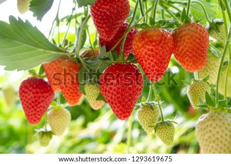 Harvesting of fresh ripe big red strawberry fruit in Dutch greenhouse #1293619675