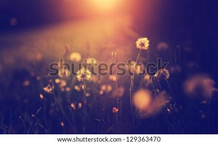 Vintage photo of dandelion field in sunset #129363470