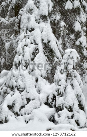 Christmas trees are beautifully snowy snow.Winter backgrounds. #1293712162
