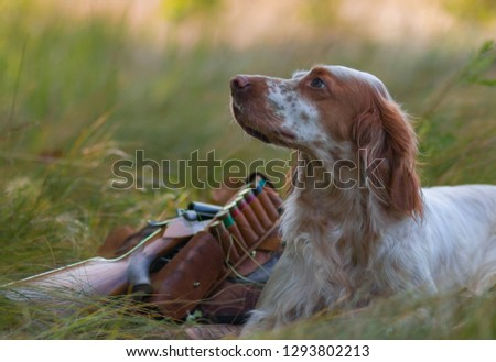 Hunting dog. Pointing dog. English setter. Hunting.  Portrait of a hunting dog with trophies.  On hemp the gun, cartridges and trophies lie. Real hunt #1293802213