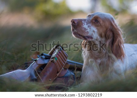 Hound. Hunting dog. English setter. Pointing dog. Hunting.  Portrait of a hunting dog with trophies.  On hemp the gun, cartridges and trophies lie. Real hunt #1293802219