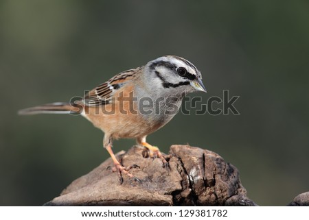 rock bunting perched #129381782