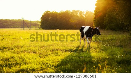 Cow on green grass and evening sky with light #129388601