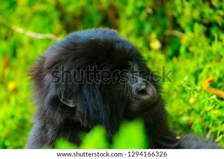 Gorilla in Rwanda, Africa #1294166326
