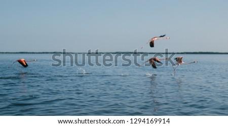 Flamingos in flight. Flying flamingos over the water of the natural park of Rio Lagartos. Scientific name: Phoenicoparrus minor. Yucatan, Mexico. #1294169914