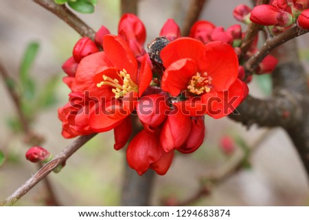 Quince plant with red flowers #1294683874