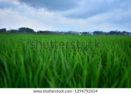 rice fields beautiful #1294792654