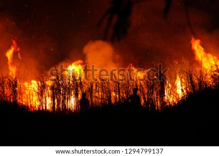 Sugar cane is burned to remove the outer leaves around the stalks before harvesting in Thailand #1294799137