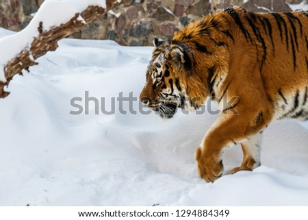 beautiful panthera tigris on a snowy road close up #1294884349