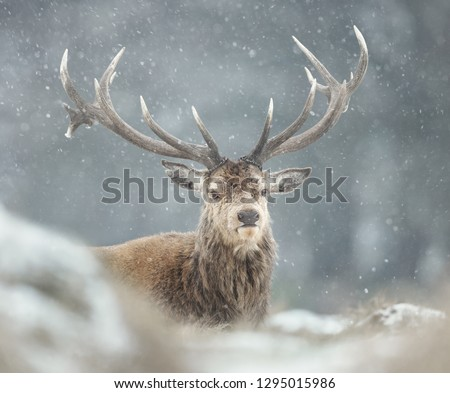 Close-up of a red deer stag in the falling snow, winter in UK. #1295015986