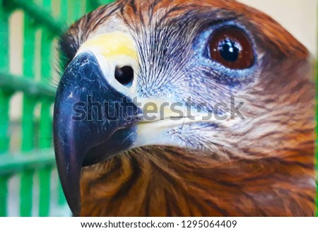 Falcon Bird Picture, Falcons are birds of prey in the genus Falco, which includes about 40 species. Falcons are widely distributed on all continents of the world except Antarctica
