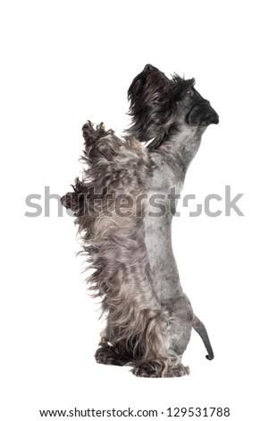 funny dog dancing #129531788