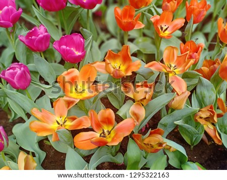 Tulip blooming at flower garden in Chiangmai thailand on holiday time #1295322163