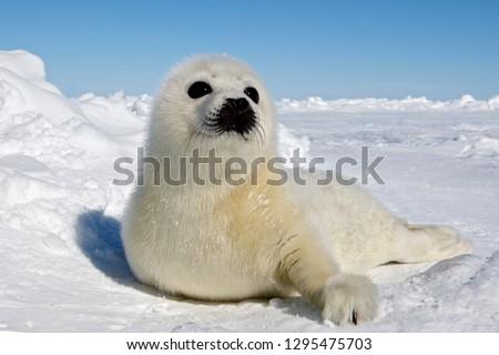 Baby Harp Seal Magdalen Islands Royalty-Free Stock Photo #1295475703